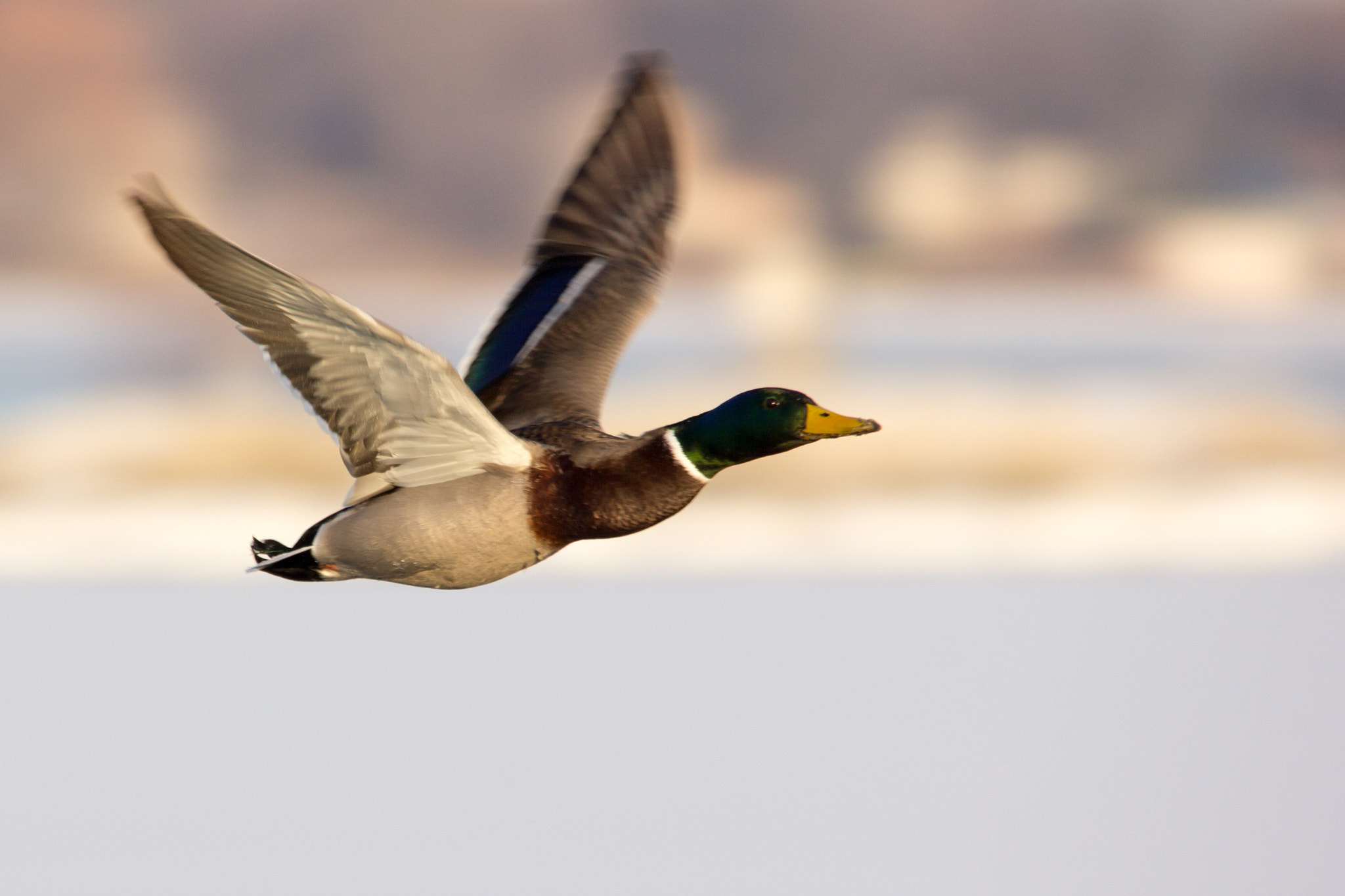 Photograph Mallard by Gail MacLellan on 500px