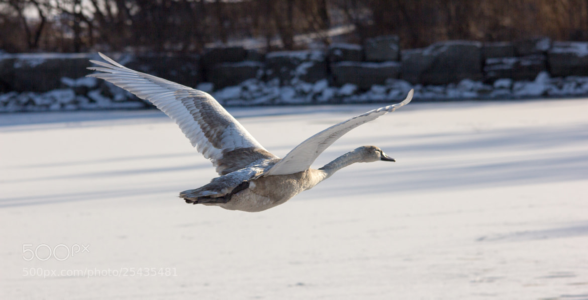 Photograph Trumpeter Swan by Gail MacLellan on 500px