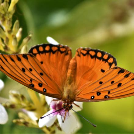 Butterfly in Paradise, Nikon D5500, AF-S DX VR Zoom-Nikkor 55-200mm f/4-5.6G IF-ED