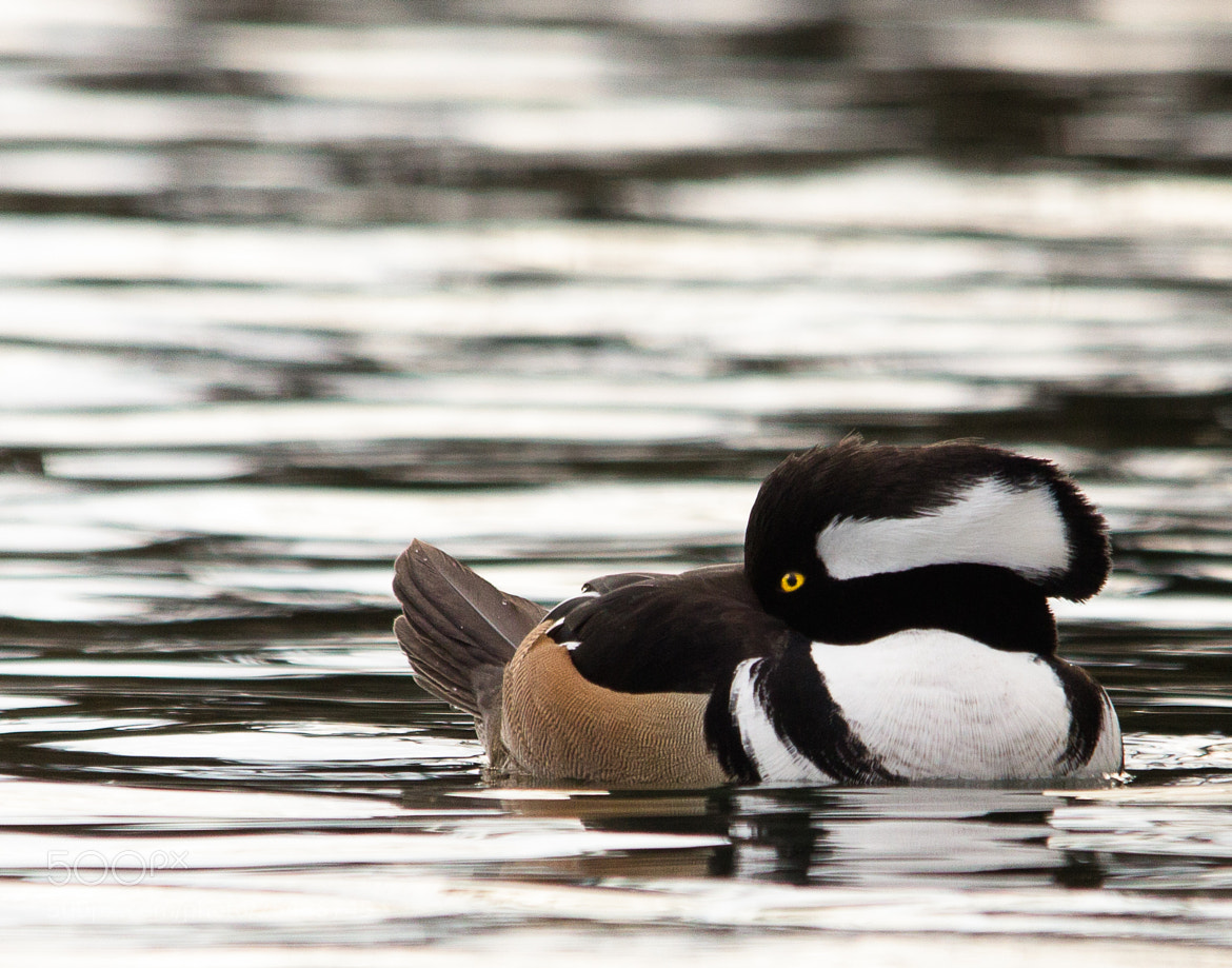 Photograph  Hooded  Merganser by Gail MacLellan on 500px