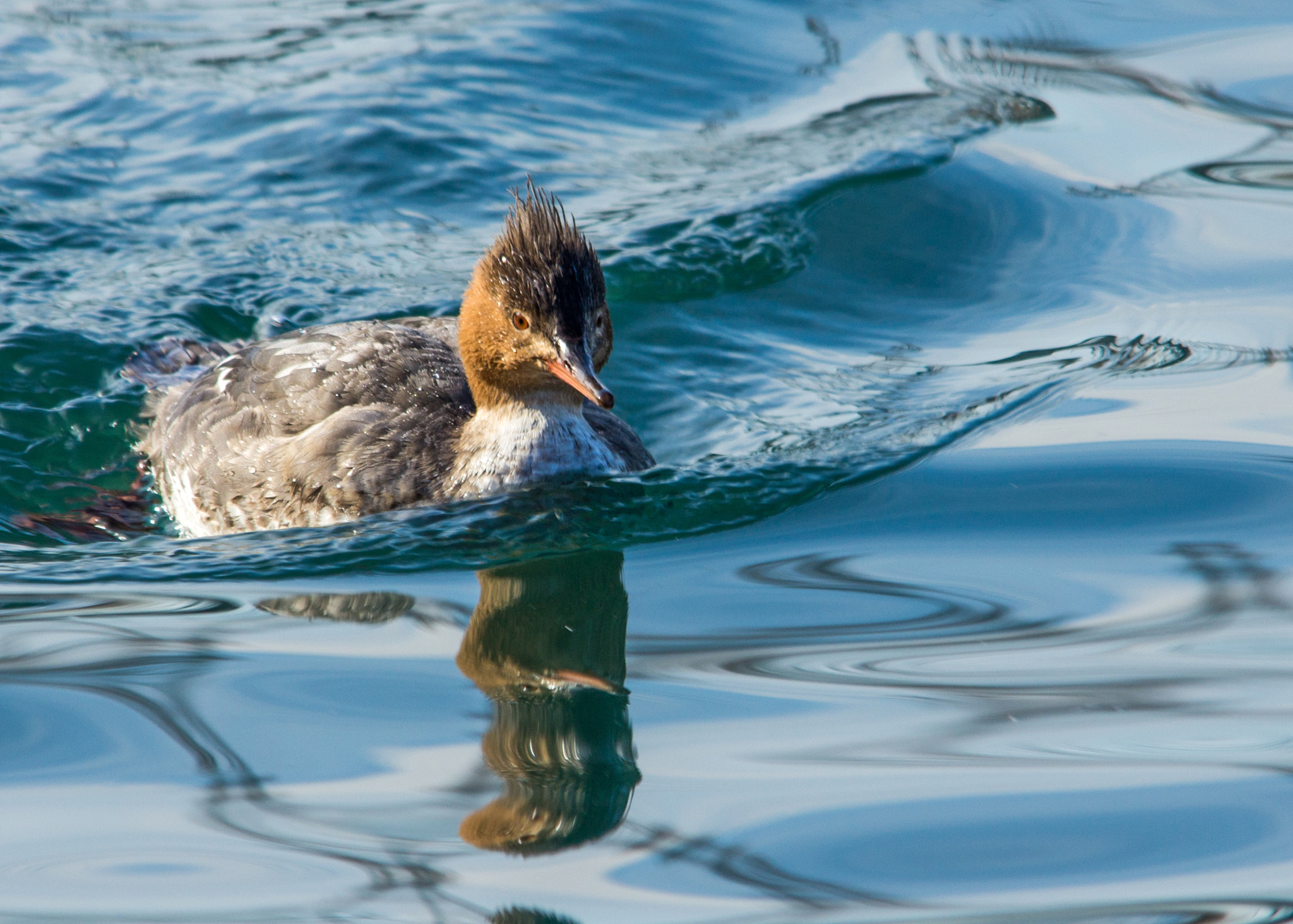 Photograph Red-breasted Merganser by Gail MacLellan on 500px