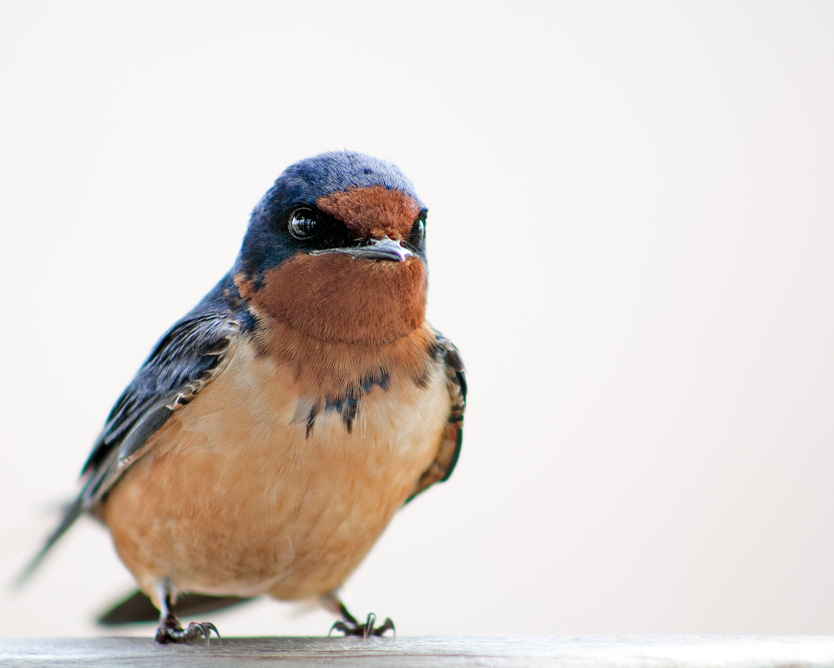 Photograph Barn Swallow by Gail MacLellan on 500px