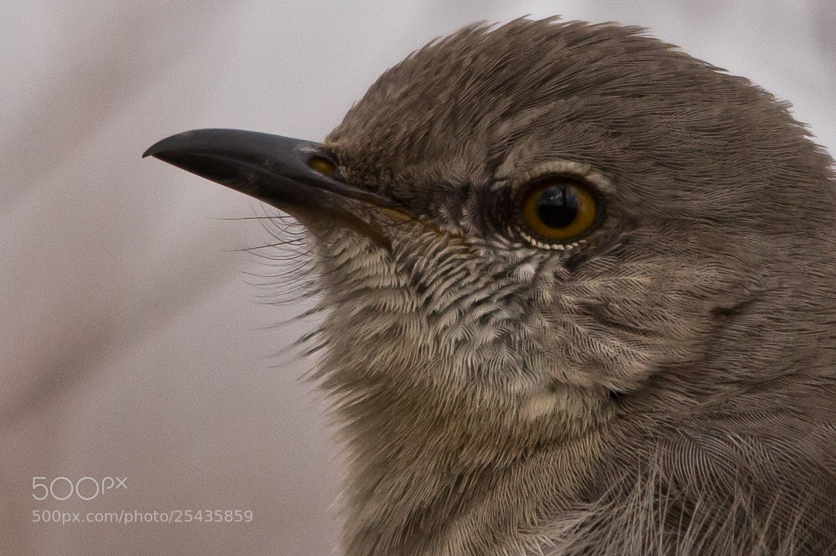 Photograph Northern Mockingbird by Gail MacLellan on 500px
