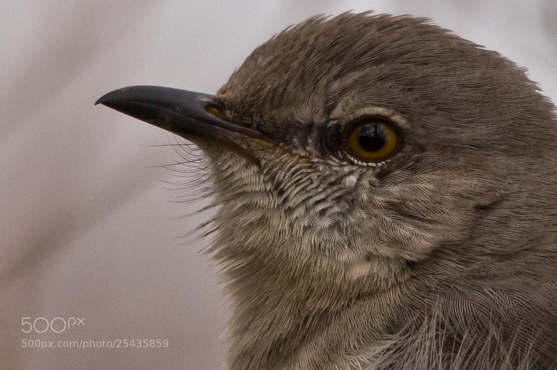 Photograph Northern Mockingbird by Gail MacLellan on 500px
