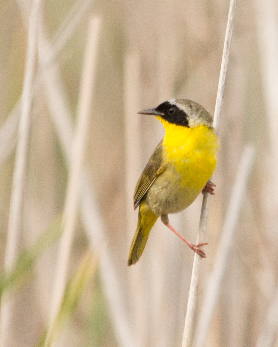Photograph Common Yellowthroat by Gail MacLellan on 500px