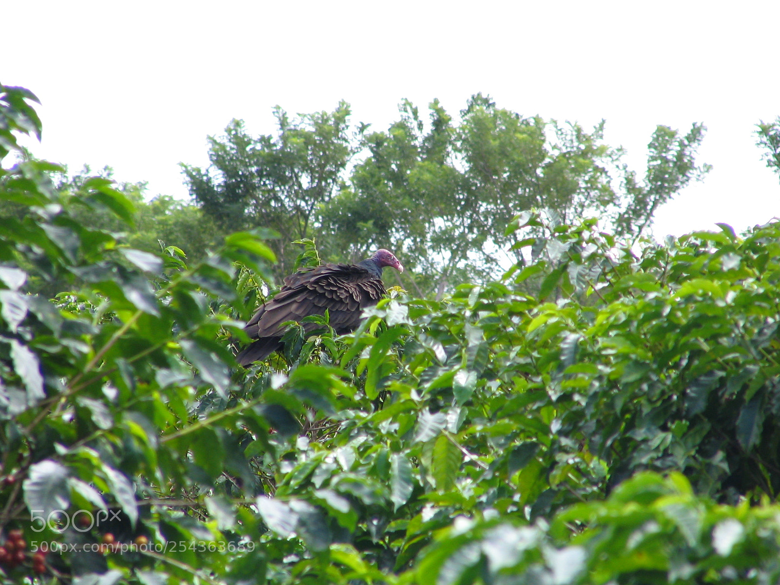 """Canon POWERSHOT S1 IS sample photo. """"Vulture on coffee plant"""" photography"""