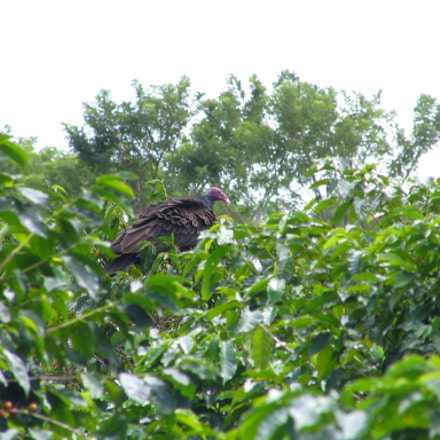 Vulture on coffee plant, Canon POWERSHOT S1 IS