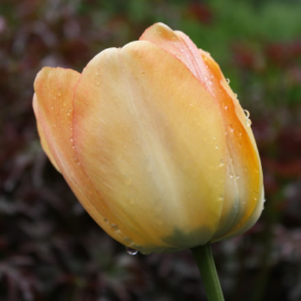 orange tulip, Canon EOS DIGITAL REBEL XS, Canon EF-S 18-55mm f/3.5-5.6 IS