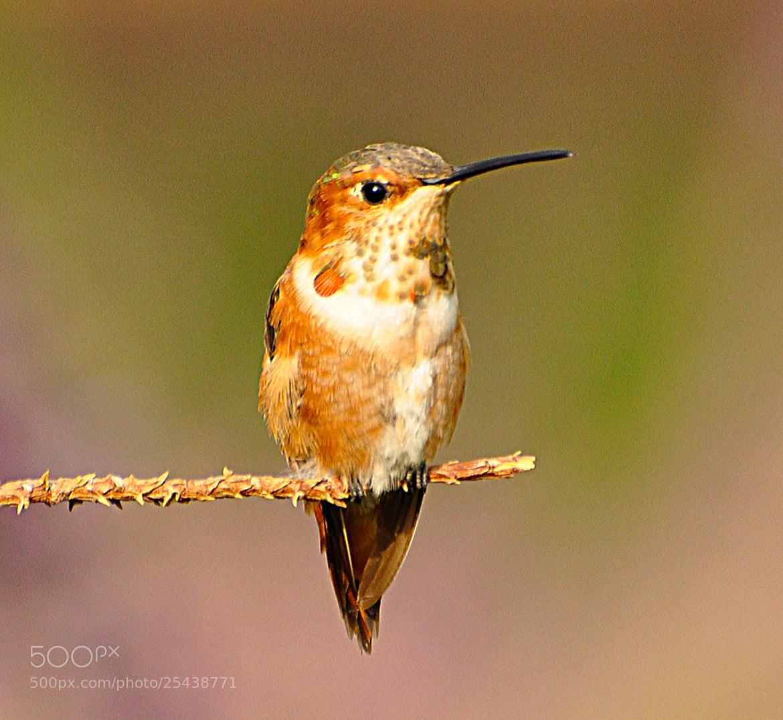 Photograph Hummingbird by Hamayak Hakopian on 500px