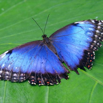 Blue butterfly 1, RICOH PENTAX K-70, Sigma 18-300mm F3.5-6.3 DC Macro HSM