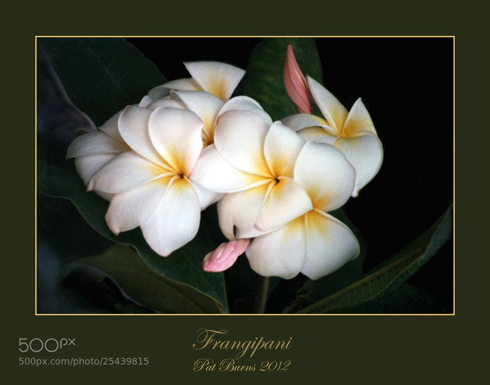 Photograph Frangipani by Pat Burns on 500px