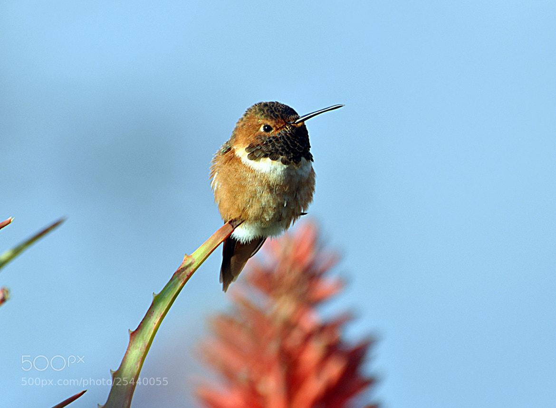 Photograph Hummingbird. by Hamayak Hakopian on 500px