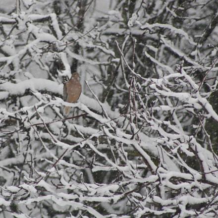 dove in snow-laden tree, Canon EOS DIGITAL REBEL XS, Canon EF 75-300mm f/4-5.6 USM