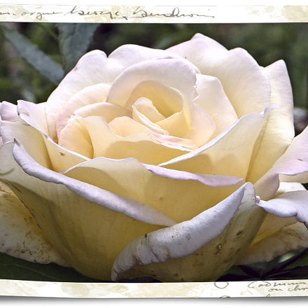 Rose pure soie, Canon POWERSHOT SX240 HS