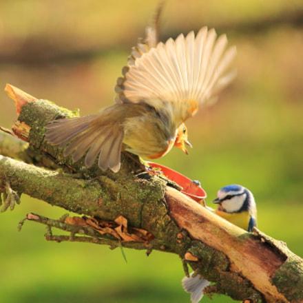Bird battle, Canon EOS 1200D, Canon EF-S 55-250mm f/4-5.6 IS