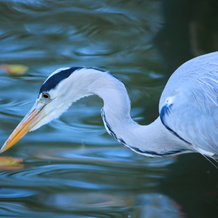Heron, Canon EOS 1200D, Canon EF-S 55-250mm f/4-5.6 IS