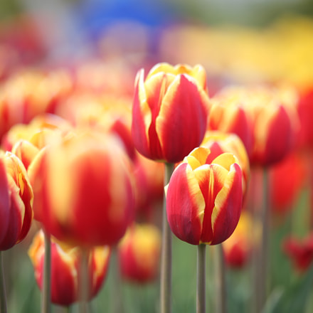 tulips, Canon EOS 6D, Canon EF 70-300mm f/4-5.6 IS USM