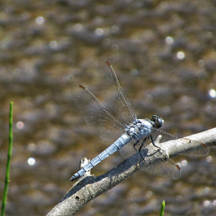 Blue dragonfly, Canon POWERSHOT SX410 IS