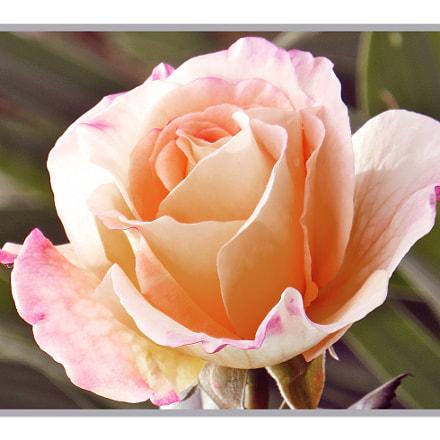 Rose, jung + sehr zart, Canon POWERSHOT SX240 HS