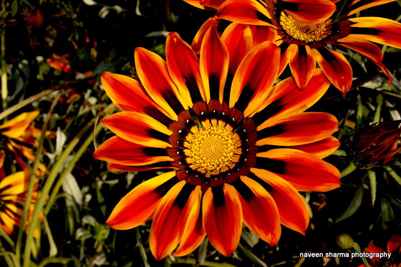 Photograph Gazania pleasure by naveen sharma on 500px