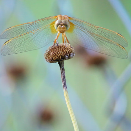Dragonfly, Canon EOS 1200D, Canon EF-S 55-250mm f/4-5.6 IS