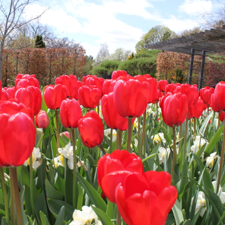 Tulips Edward's Garden, Toronto, Canon EOS REBEL T2I, Canon EF-S 18-55mm f/3.5-5.6 IS