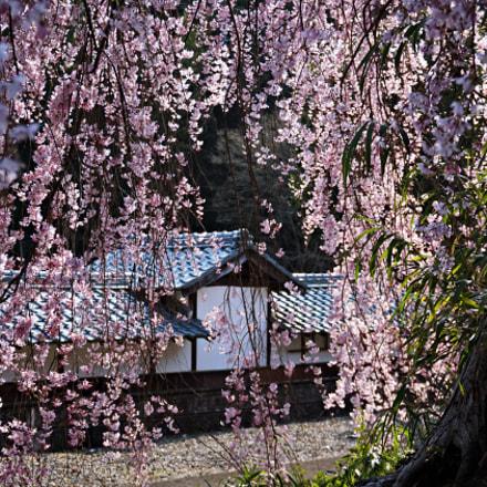 Sakura, Sony ILCE-6000, Sony E 18-50mm F4-5.6