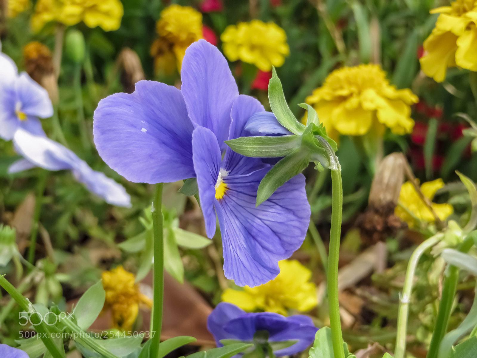 相亲相爱的紫蝴蝶花, Canon POWERSHOT SX240 HS