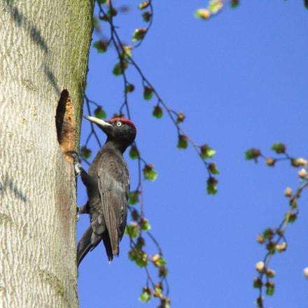 Black Woodpecker, Canon EOS 700D, Sigma 150-600mm f/5-6.3 DG OS HSM | C