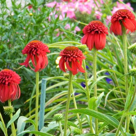 DSCN  SC cone flower, Nikon COOLPIX L120
