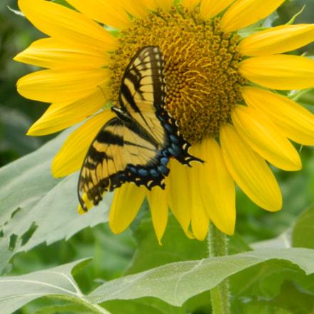 SCDSCN buttery + sunflower, Nikon COOLPIX L120