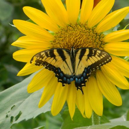 SC Tiger swollowtail + sunflower, Nikon COOLPIX L120