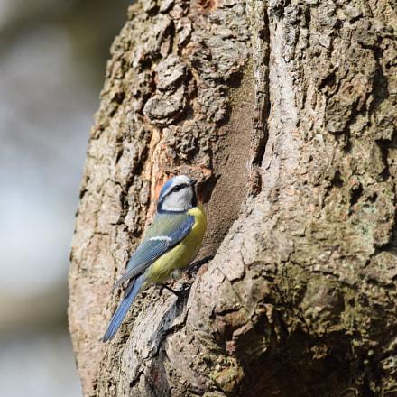 Blue tit.  (Cyanistes caeruleus), Nikon D5300, AF-S Nikkor 300mm f/4D IF-ED