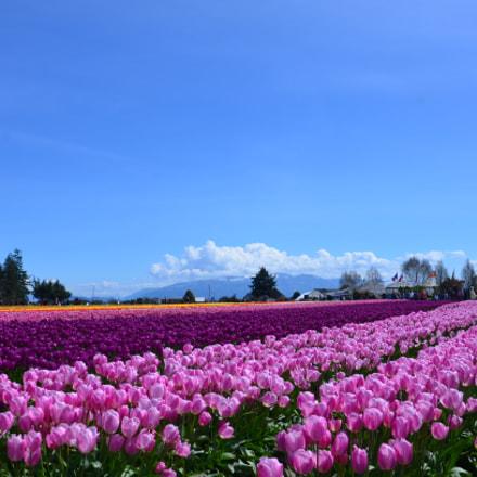 Skagit Valley Tulip Festival, Nikon D7000, AF-S DX VR Zoom-Nikkor 18-105mm f/3.5-5.6G ED