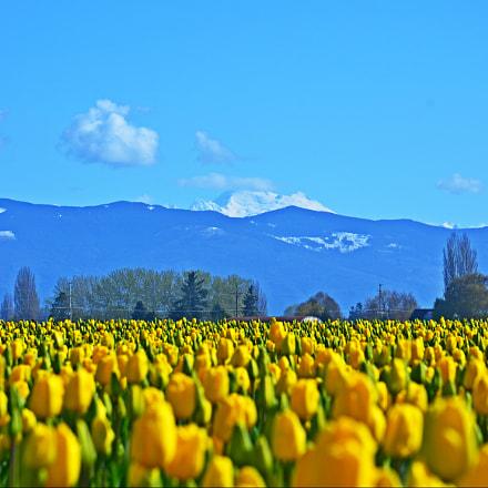 Skagit Valley tulips and, Nikon D7000, AF-S DX VR Zoom-Nikkor 18-105mm f/3.5-5.6G ED