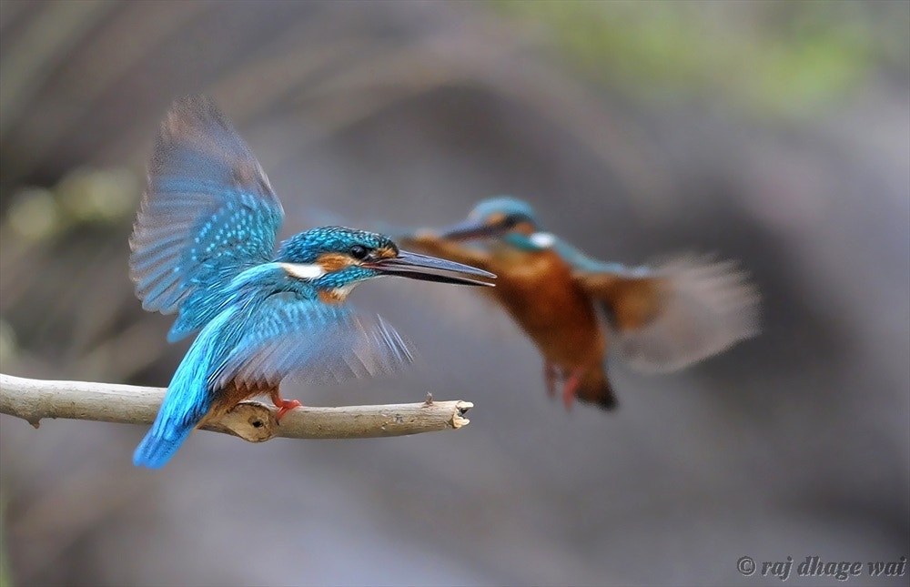 Photograph  	Alcedo atthis   by raj dhage on 500px