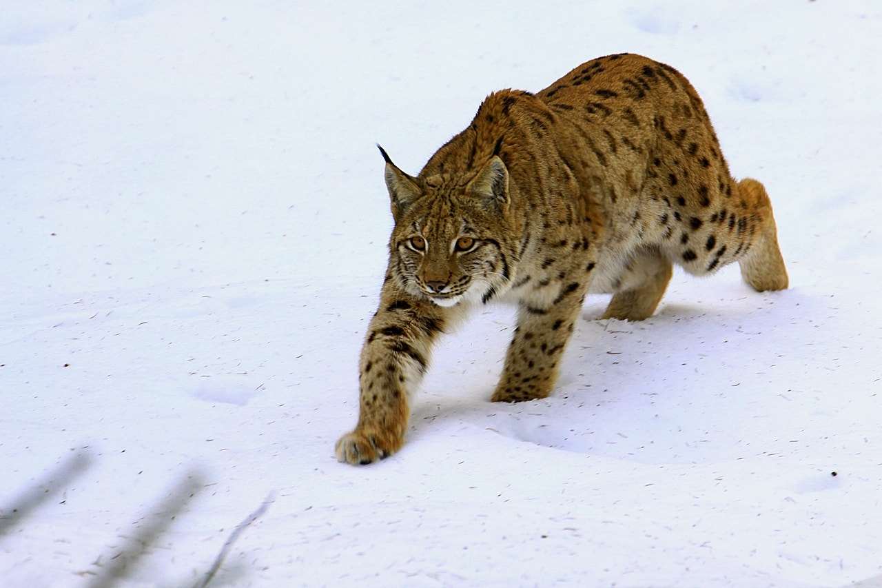 Photograph Lynx by Blaz Crepinsek on 500px