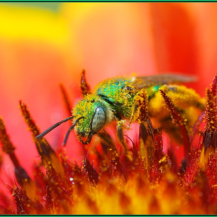 Shiny Happy Green Bee, Nikon D850, Sigma Macro 105mm F2.8 EX DG OS HSM