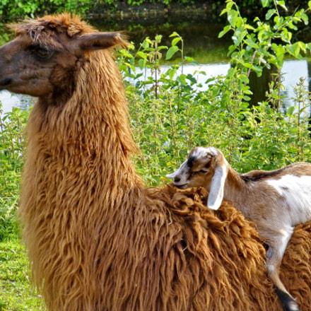 Llama and Goatling, Panasonic DMC-ZS19