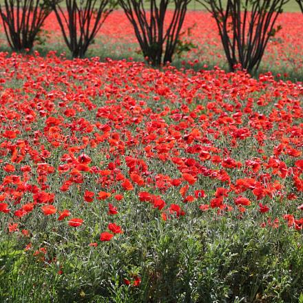 Poppy Fields 3511, Canon EOS REBEL T6I, Canon EF 100mm f/2.8L Macro IS USM