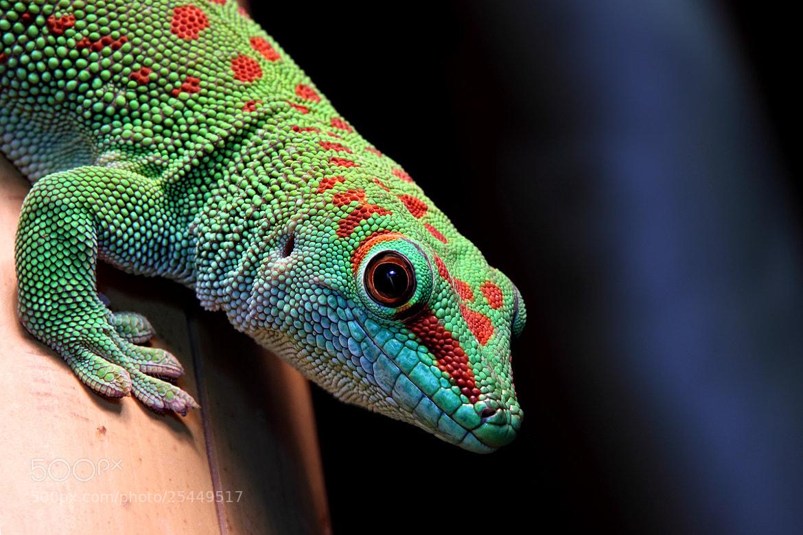 Photograph Madagaskar Taggecko by Helmut Lager on 500px