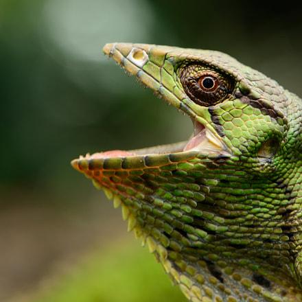 Polychrus marmoratus Common Monkey, Nikon D7100, AF-S DX Micro Nikkor 85mm f/3.5G ED VR