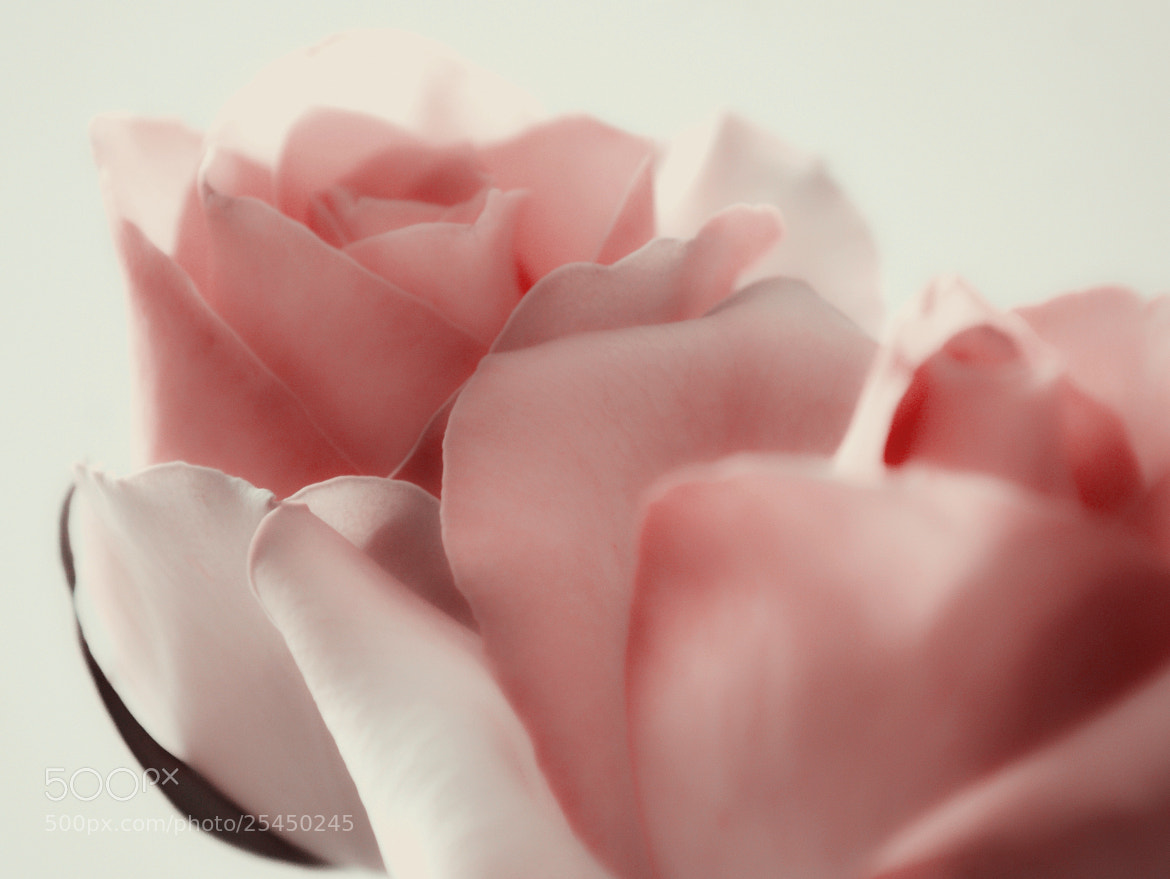 Photograph ROSE by Tom Magnum on 500px