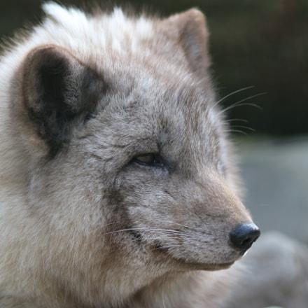 polar fox, Canon EOS 100D, Canon EF 200mm f/2.8L II