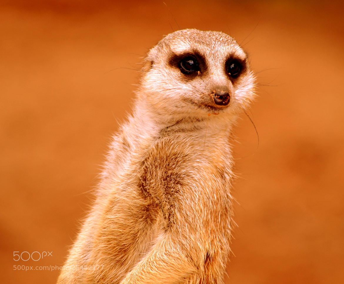 Photograph Meerkat 2 by Madan Neelagiri on 500px