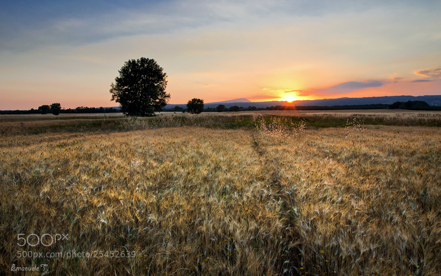 Photograph Tree in a wheat field (color) by Emanuele Torrisi on 500px