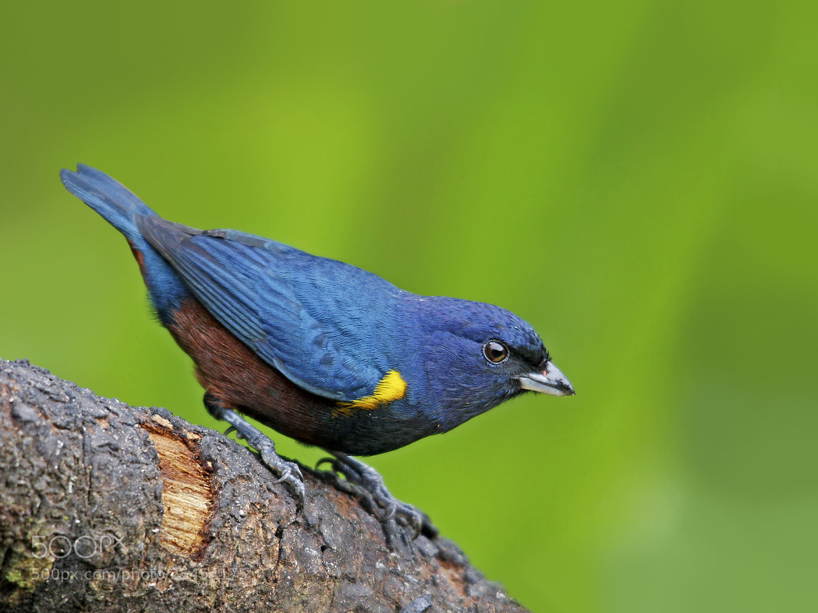 Photograph ferro-velho Euphonia pectoralis) Chestnut-bellied Euphonia by Claudio Lopes on 500px