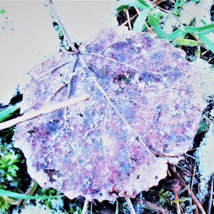 leaf, Fujifilm A850