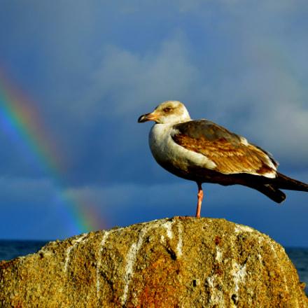 Rainbow Seagull, Nikon D7000, AF-S DX Zoom-Nikkor 18-70mm f/3.5-4.5G IF-ED