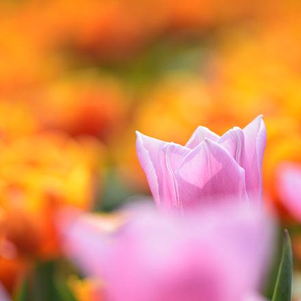 Pink, Nikon D7200, AF-S Nikkor 300mm f/4D IF-ED
